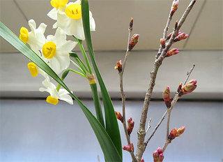 桜のつぼみ.JPG