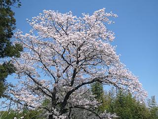 IMG_4975お花見1.jpg